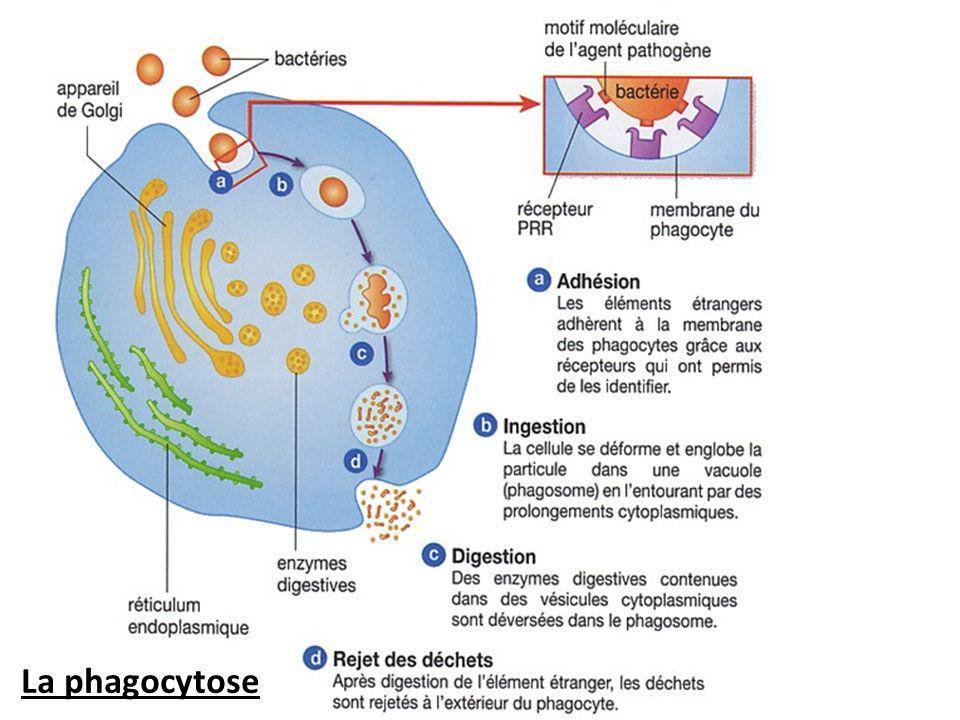 La phagocytose