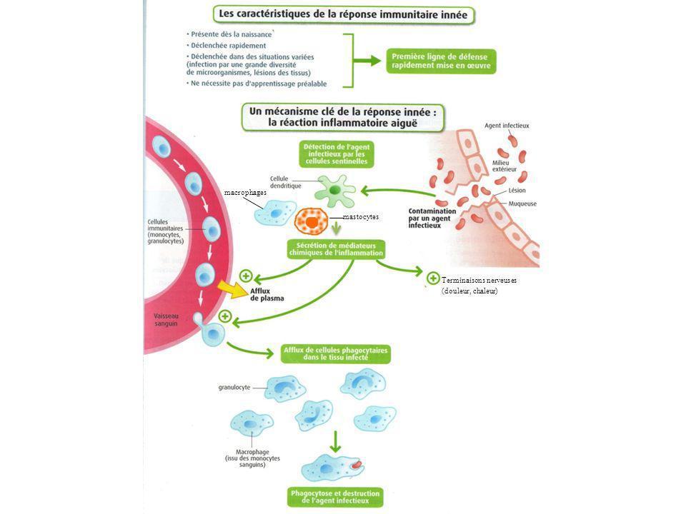 macrophages mastocytes Terminaisons nerveuses (douleur, chaleur)