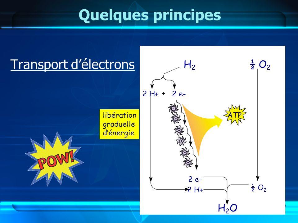 Quelques principes Transport délectrons explosion énergie libération graduelle dénergie KaBoOM !! H2H2 ½ O 2 2 H+2 e- 2 H+ ½ O 2 ATP H2OH2O