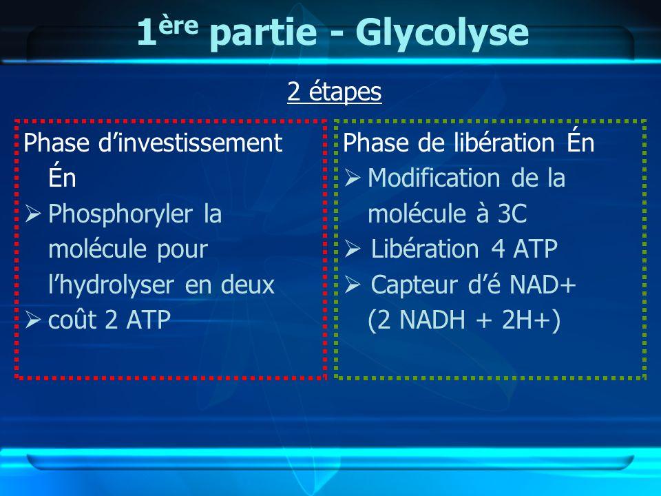 1 ère partie - Glycolyse Phase dinvestissement Én Phosphoryler la molécule pour lhydrolyser en deux coût 2 ATP Phase de libération Én Modification de