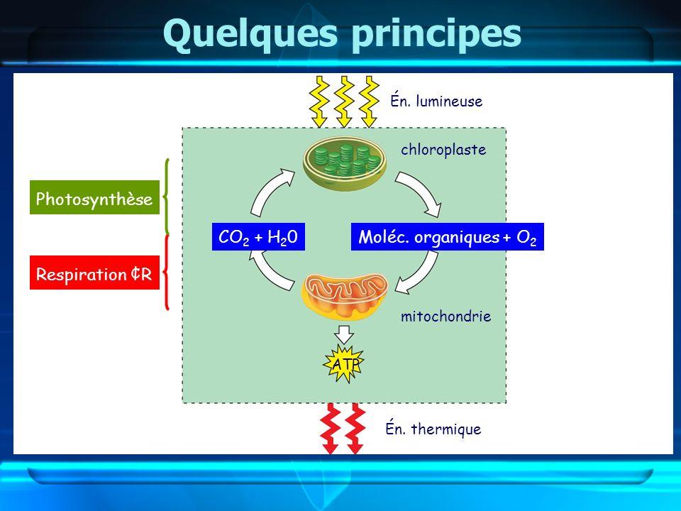 Quelques principes mitochondrie chloroplaste CO 2 + H 2 0Moléc. organiques + O 2 ATP Én. lumineuse Én. thermique Respiration ¢R Photosynthèse