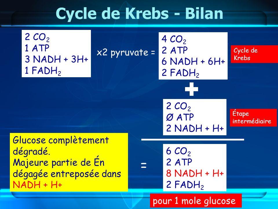 Cycle de Krebs - Bilan 6 CO 2 2 ATP 8 NADH + H+ 2 FADH 2 Glucose complètement dégradé. Majeure partie de Én dégagée entreposée dans NADH + H+ 2 CO 2 1