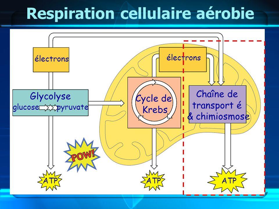 Glycolyse Cycle de Krebs Chaîne de transport é & chimiosmose Respiration cellulaire aérobie glucosepyruvate électrons ATP électrons