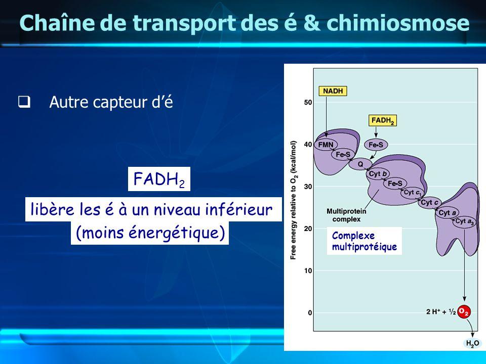 Chaîne de transport des é & chimiosmose Autre capteur dé Complexe multiprotéique FADH 2 libère les é à un niveau inférieur (moins énergétique)