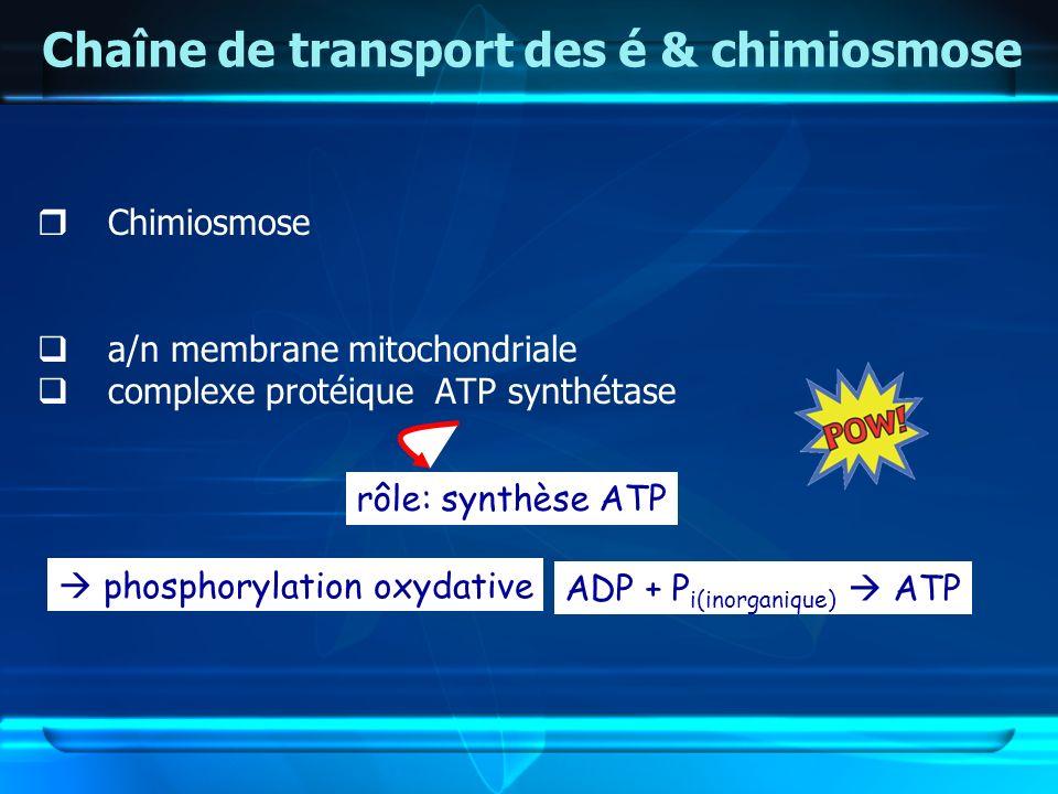 Chaîne de transport des é & chimiosmose Chimiosmose a/n membrane mitochondriale complexe protéique ATP synthétase rôle: synthèse ATP phosphorylation o