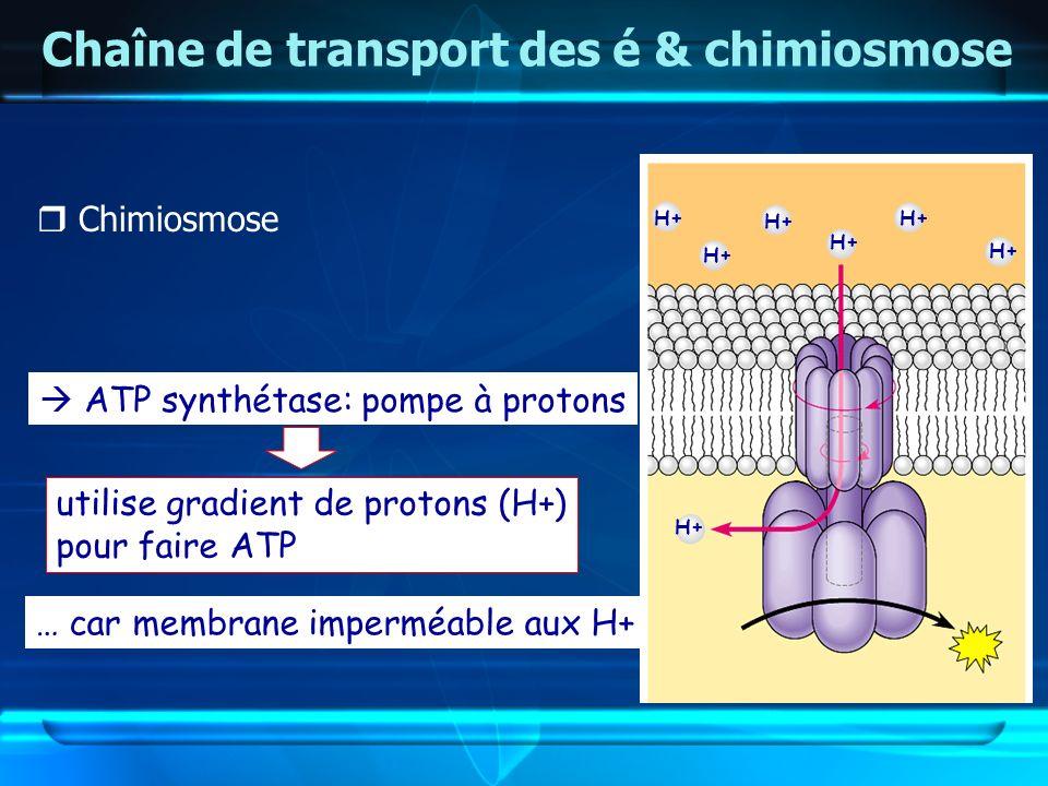 H+ Chaîne de transport des é & chimiosmose Chimiosmose ATP synthétase: pompe à protons utilise gradient de protons (H+) pour faire ATP … car membrane