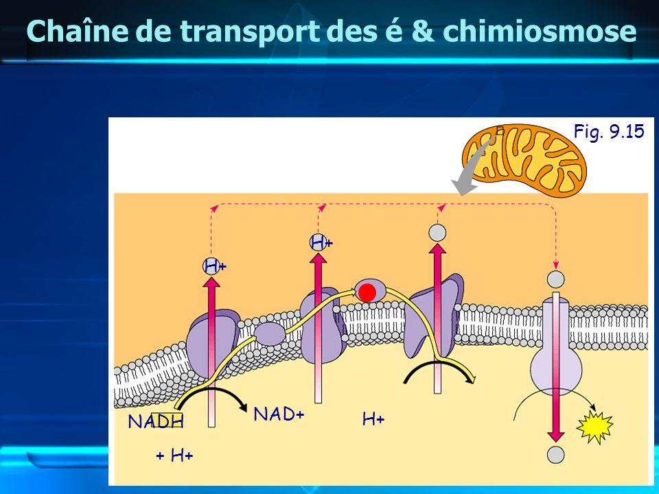 Fig. 9.15 Chaîne de transport des é & chimiosmose NADH + H+ NAD+ H+