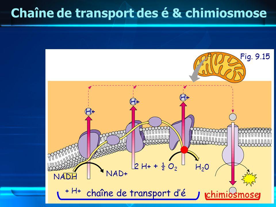 Fig. 9.15 Chaîne de transport des é & chimiosmose NADH + H+ NAD+ H+ 2 H+ + ½ O 2 H20H20 chaîne de transport dé chimiosmose