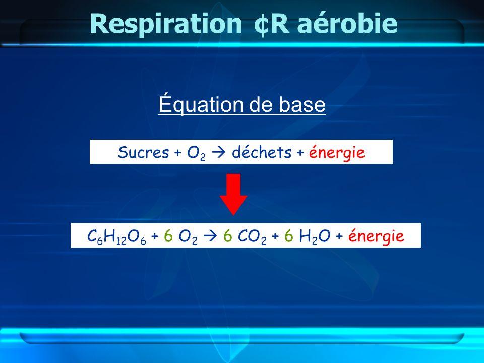 Équation de base Respiration ¢R aérobie Sucres + O 2 déchets + énergie C 6 H 12 O 6 + 6 O 2 6 CO 2 + 6 H 2 O + énergie