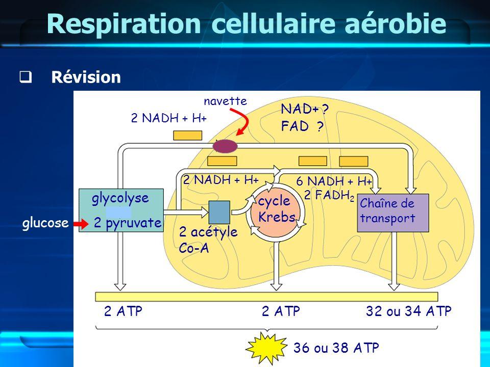 Respiration cellulaire aérobie Révision glycolyse 2 NADH + H+ 2 ATP 2 acétyle Co-A glucose2 pyruvate cycle Krebs 2 NADH + H+ 2 ATP 6 NADH + H+ 2 FADH