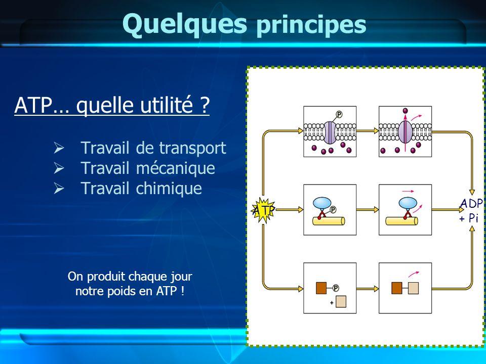 Quelques principes ATP… quelle utilité ? Travail de transport Travail mécanique Travail chimique ATP ADP + Pi On produit chaque jour notre poids en AT