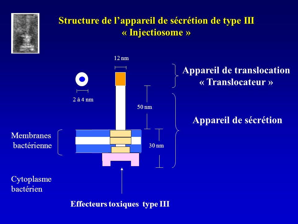 nm Structure de lappareil de sécrétion de type III « Injectiosome » à 4 nm Appareil de translocation « Translocateur » Appareil de sécrétion Membranes bactérienne Cytoplasme bactérien Effecteurs toxiques type III