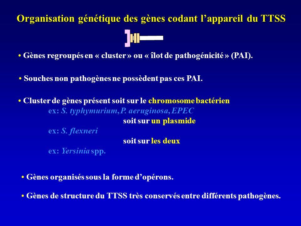 Organisation génétique des gènes codant lappareil du TTSS Gènes regroupés en « cluster » ou « îlot de pathogénicité » (PAI).