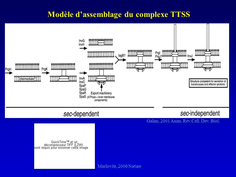 Modèle dassemblage du complexe TTSS Galan, 2001 Annu. Rev.Cell. Dev. Biol. Marlovits, 2006 Nature