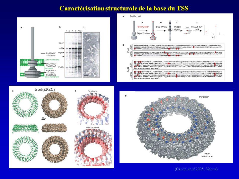 (Calvin et al 2005, Nature) Caractérisation structurale de la base du TSS EscJ(EPEC)