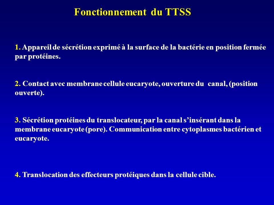 Fonctionnement du TTSS 1.