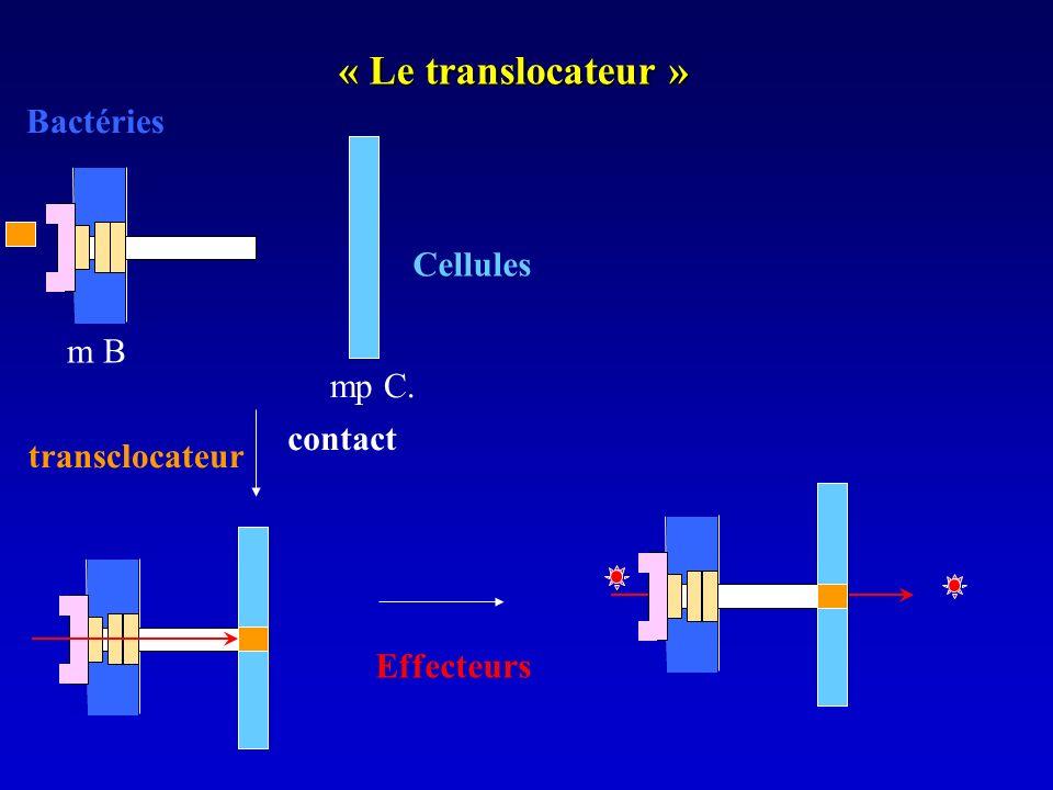 « Le translocateur » m B mp C. Bactéries contact Cellules Effecteurs transclocateur