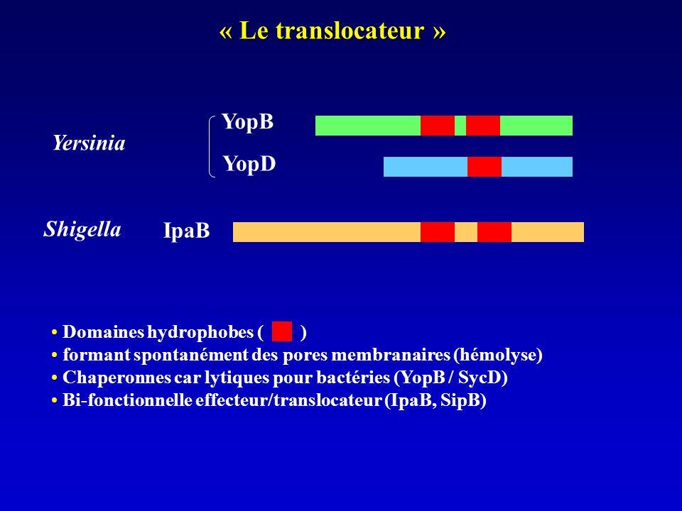 « Le translocateur » Domaines hydrophobes ( ) formant spontanément des pores membranaires (hémolyse) Chaperonnes car lytiques pour bactéries (YopB / SycD) Bi-fonctionnelle effecteur/translocateur (IpaB, SipB) YopB YopD IpaB Yersinia Shigella