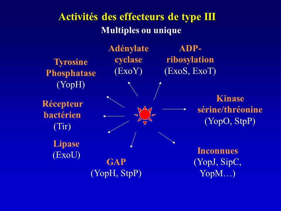 Activités des effecteurs de type III Tyrosine Phosphatase (YopH) Kinase sérine/thréonine (YopO, StpP) Récepteur bactérien (Tir) GAP (YopH, StpP) Multiples ou unique ADP- ribosylation (ExoS, ExoT) Inconnues (YopJ, SipC, YopM…) Adénylate cyclase (ExoY) Lipase (ExoU)