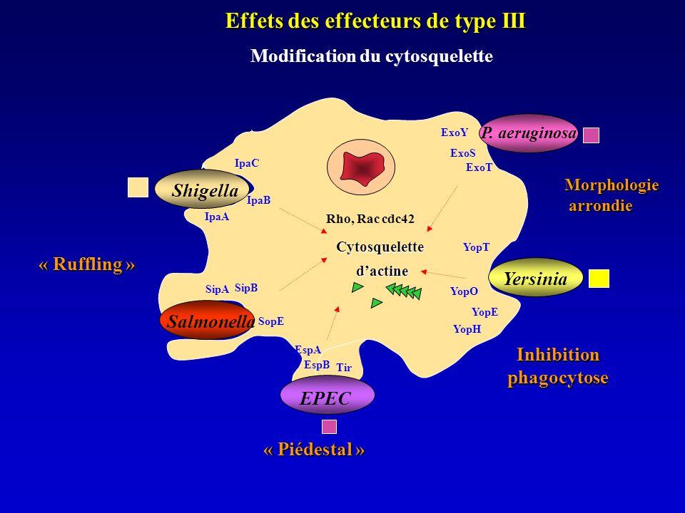 Effets des effecteurs de type III Modification du cytosquelette dactine Cytosquelette Shigella Salmonella SipB SipA IpaA IpaB IpaC Rho, Rac cdc42 SopE « Ruffling » EPEC Tir EspB EspA « Piédestal » P.