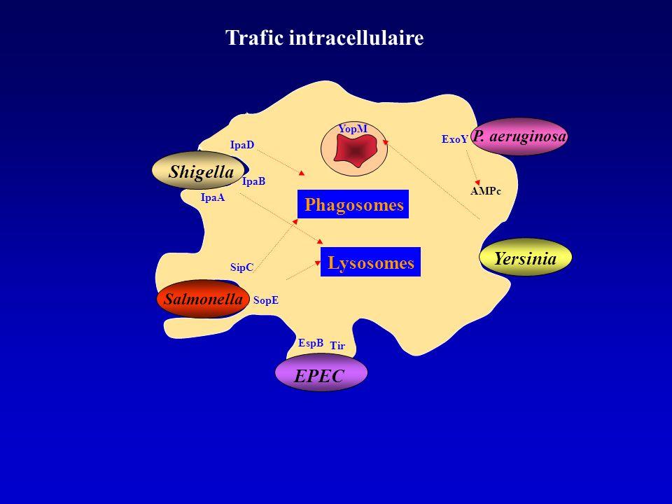 Yersinia EPEC Tir EspB SipC Salmonella IpaA IpaB Shigella IpaD SopE YopM Trafic intracellulaire Phagosomes Lysosomes P.