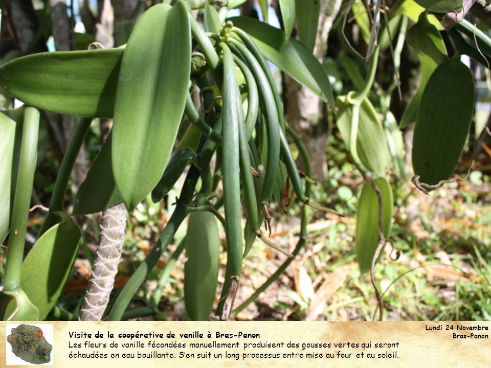 Visite de la coopérative de vanille à Bras-Panon Les fleurs de vanille fécondées manuellement produisent des gousses vertes qui seront échaudées en ea
