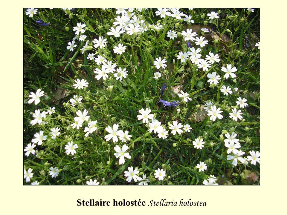 Stellaire holostée Stellaria holostea