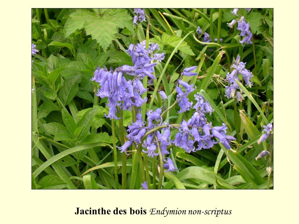 Jacinthe des bois Endymion non-scriptus