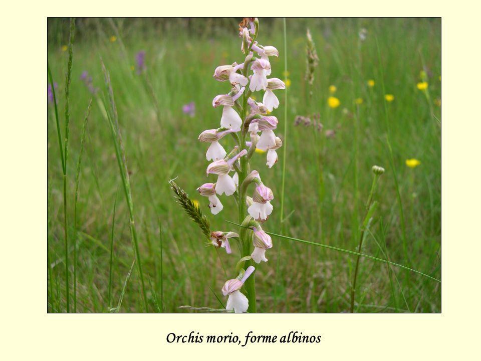 Orchis morio, forme albinos
