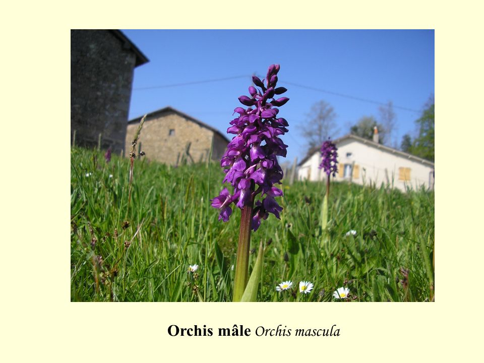 Orchis mâle Orchis mascula
