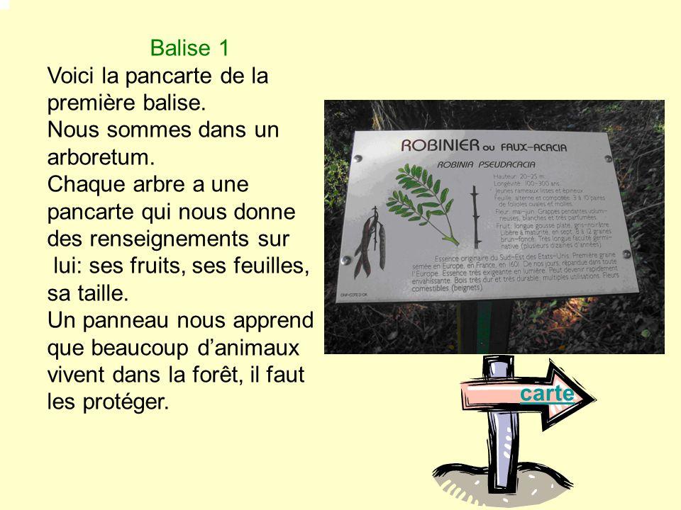 Balise 2 : On a vu un champ de maïs qui sert à nourrir les animaux comme le chevreuil ou le sanglier.