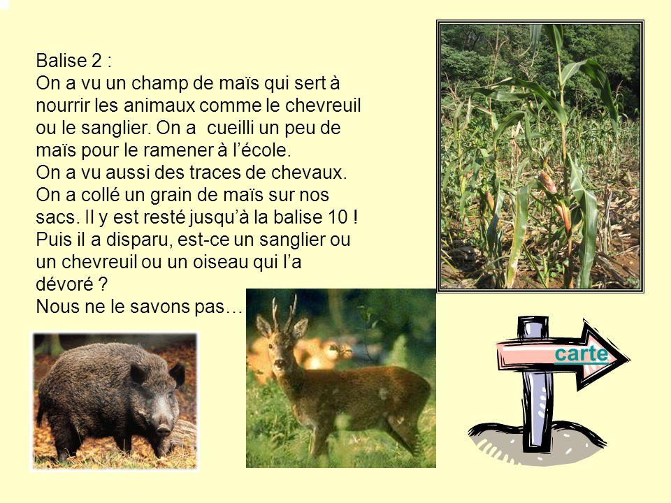 Balise 2 : On a vu un champ de maïs qui sert à nourrir les animaux comme le chevreuil ou le sanglier. On a cueilli un peu de maïs pour le ramener à lé