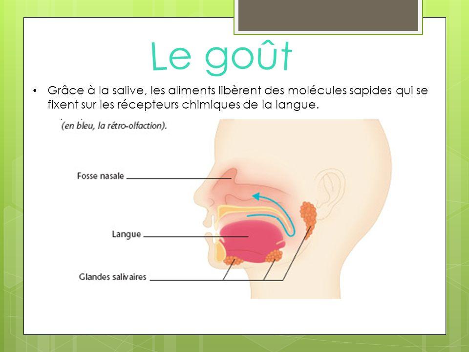 Grâce à la salive, les aliments libèrent des molécules sapides qui se fixent sur les récepteurs chimiques de la langue.