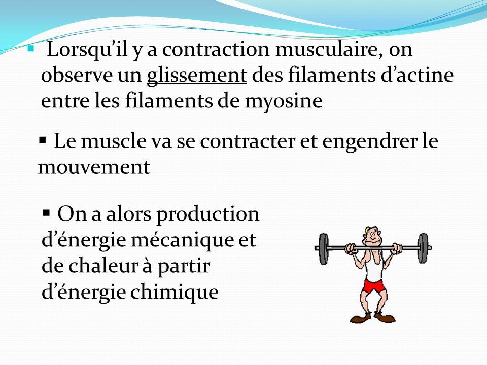 Lorsquil y a contraction musculaire, on observe un glissement des filaments dactine entre les filaments de myosine Le muscle va se contracter et engen