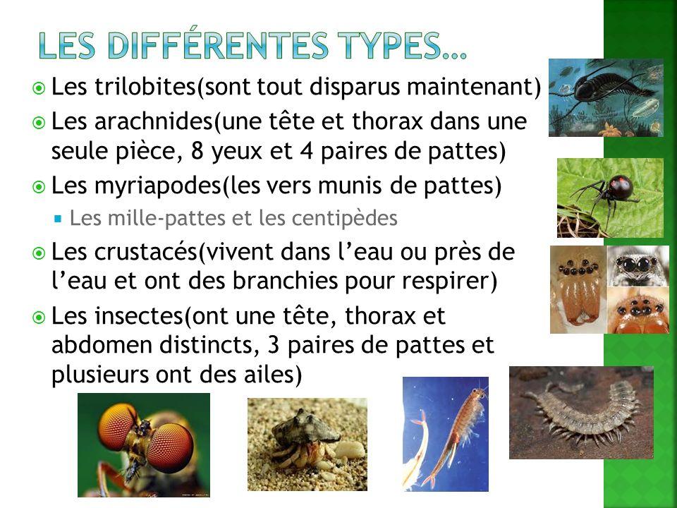 Les trilobites(sont tout disparus maintenant) Les arachnides(une tête et thorax dans une seule pièce, 8 yeux et 4 paires de pattes) Les myriapodes(les