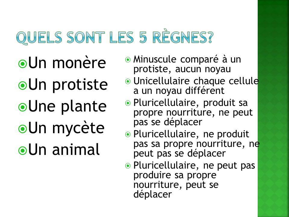 Un monère Un protiste Une plante Un mycète Un animal Minuscule comparé à un protiste, aucun noyau Unicellulaire chaque cellule a un noyau différent Pl