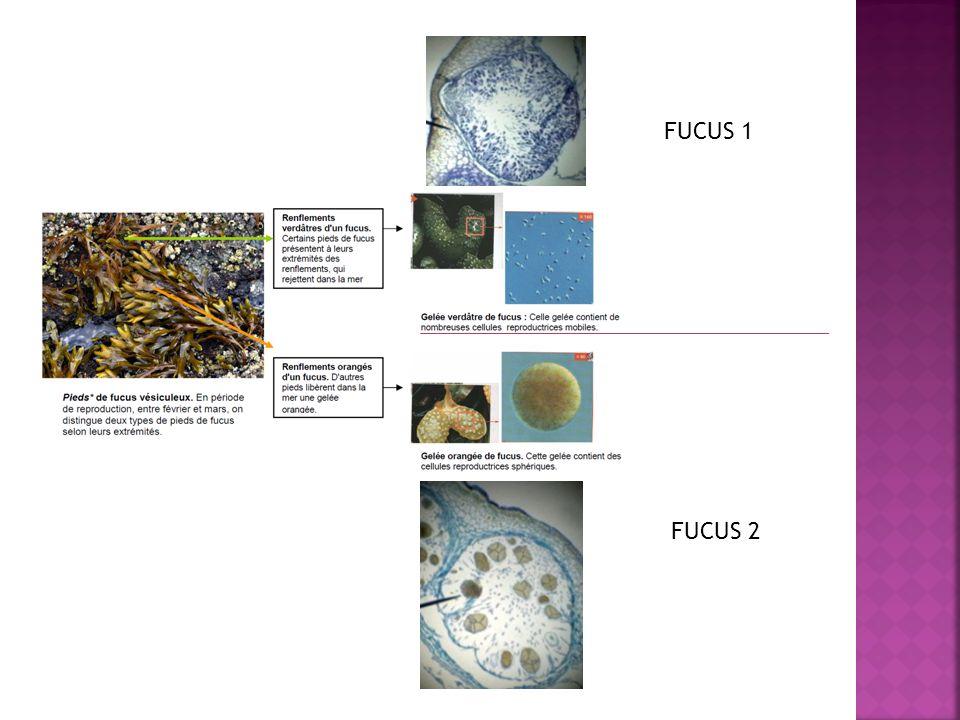 3.Le cycle du fucus 25 + 10 correction 3.1.