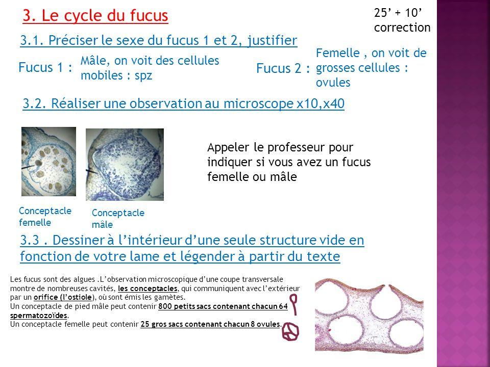 3. Le cycle du fucus 25 + 10 correction 3.1. Préciser le sexe du fucus 1 et 2, justifier Fucus 1 : Fucus 2 : Mâle, on voit des cellules mobiles : spz