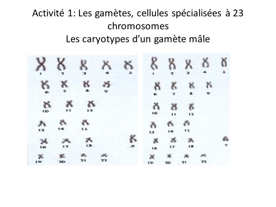 Activité 1: Les gamètes, cellules spécialisées à 23 chromosomes Les caryotypes dun gamète mâle