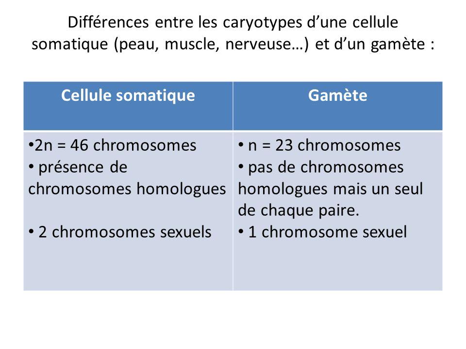 Différences entre les caryotypes dune cellule somatique (peau, muscle, nerveuse…) et dun gamète : Cellule somatiqueGamète 2n = 46 chromosomes présence de chromosomes homologues 2 chromosomes sexuels n = 23 chromosomes pas de chromosomes homologues mais un seul de chaque paire.
