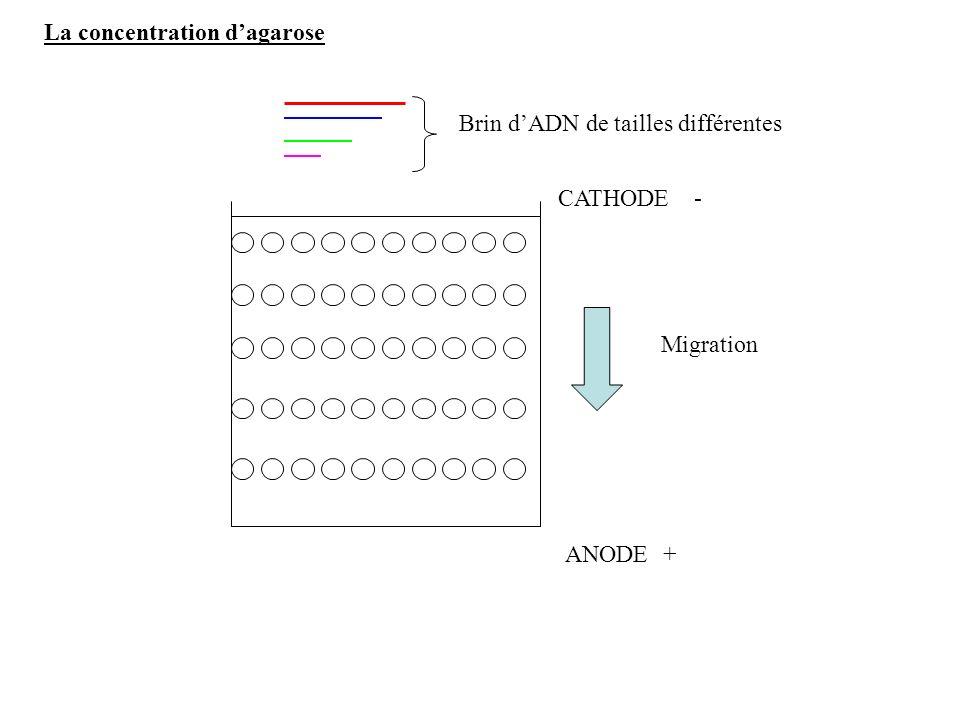 La concentration dagarose ANODE CATHODE + - Migration Brin dADN de tailles différentes