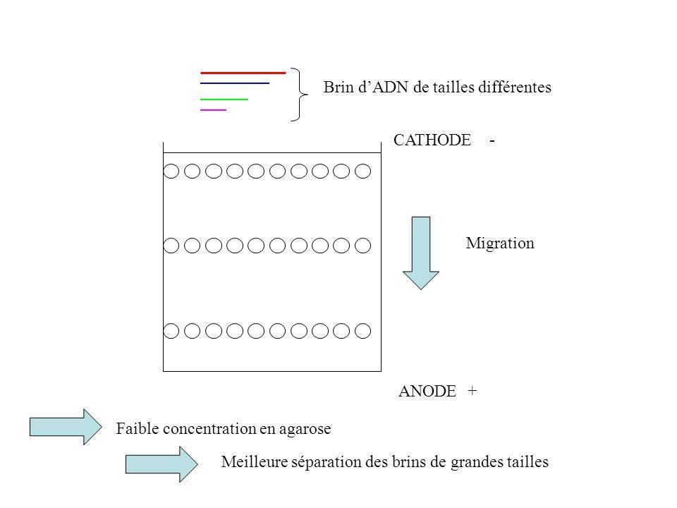ANODE CATHODE + - Migration Brin dADN de tailles différentes Faible concentration en agarose Meilleure séparation des brins de grandes tailles