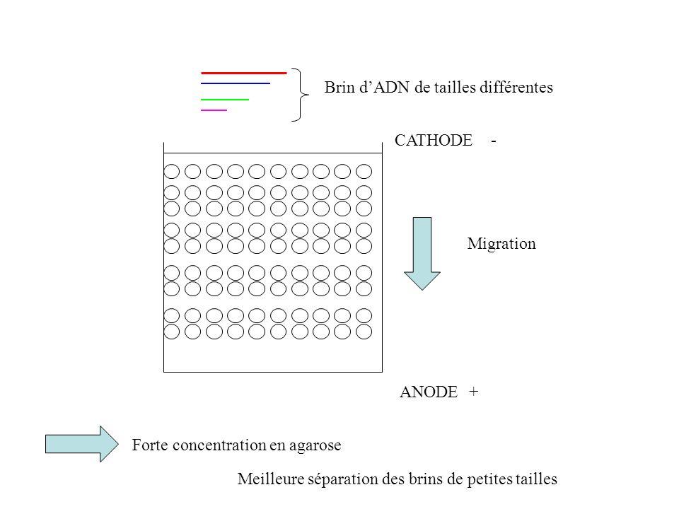 ANODE CATHODE + - Migration Brin dADN de tailles différentes Forte concentration en agarose Meilleure séparation des brins de petites tailles