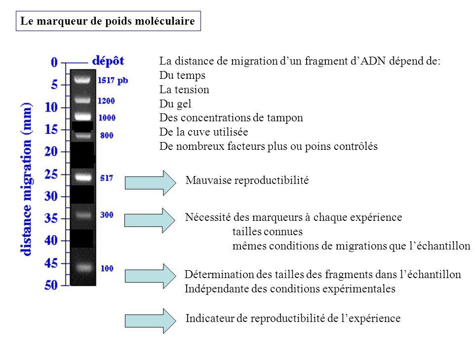 Le marqueur de poids moléculaire La distance de migration dun fragment dADN dépend de: Du temps La tension Du gel Des concentrations de tampon De la c