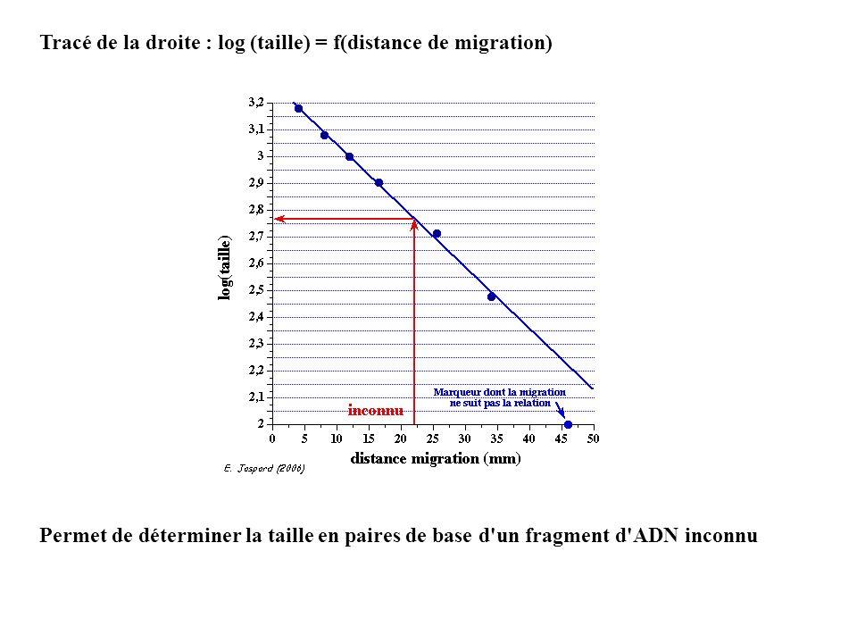 Tracé de la droite : log (taille) = f(distance de migration) Permet de déterminer la taille en paires de base d'un fragment d'ADN inconnu