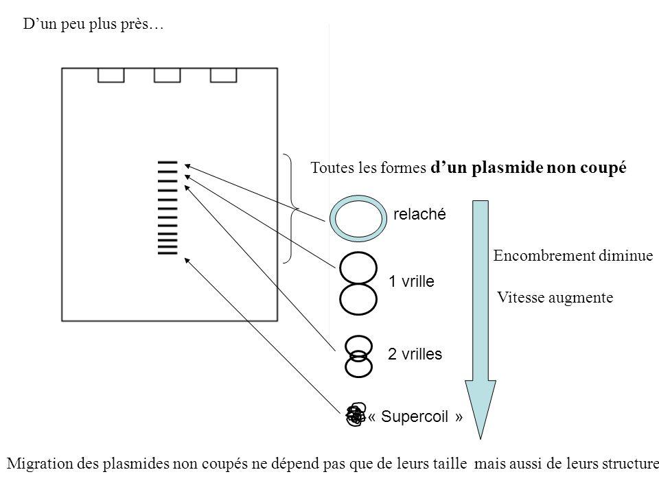 Toutes les formes dun plasmide non coupé Dun peu plus près… relaché 1 vrille 2 vrilles Encombrement diminue Vitesse augmente « Supercoil » Migration d