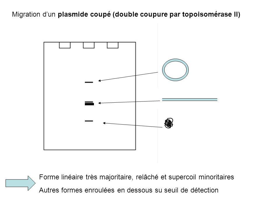 Migration dun plasmide coupé (double coupure par topoisomérase II) Forme linéaire très majoritaire, relâché et supercoil minoritaires Autres formes en