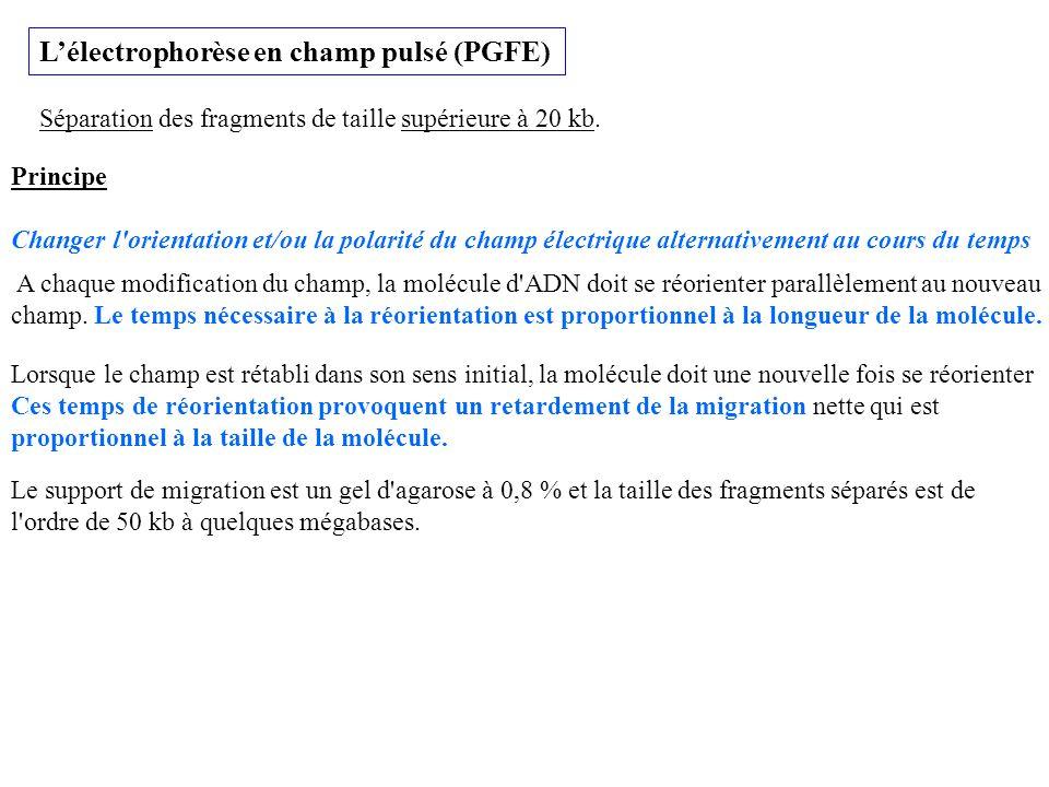 Lélectrophorèse en champ pulsé (PGFE) Séparation des fragments de taille supérieure à 20 kb. Principe Changer l'orientation et/ou la polarité du champ