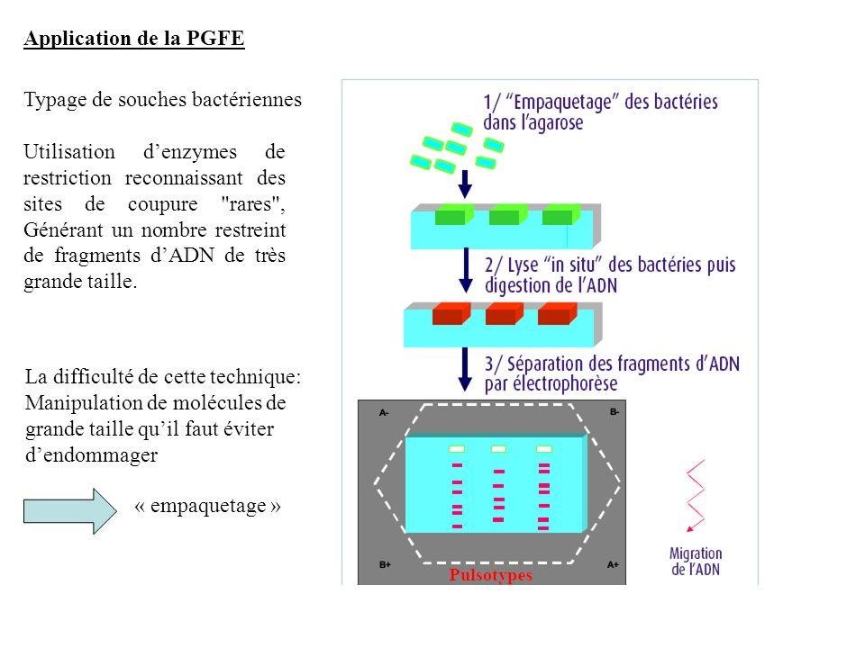 Application de la PGFE Typage de souches bactériennes Utilisation denzymes de restriction reconnaissant des sites de coupure