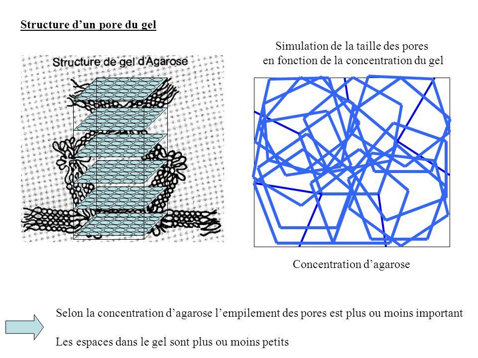 Structure dun pore du gel Selon la concentration dagarose lempilement des pores est plus ou moins important Les espaces dans le gel sont plus ou moins